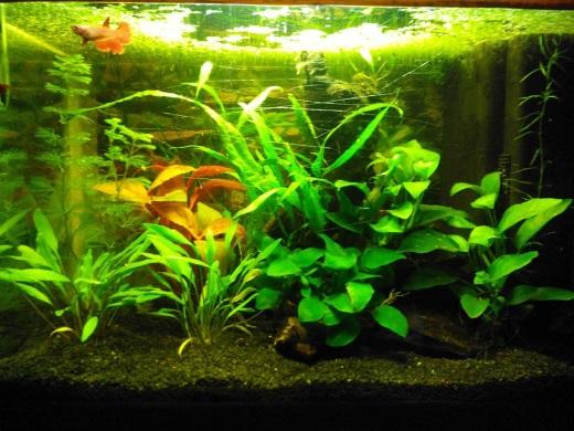 L acquario biotopo asiatico per i betta splendens